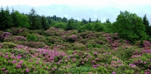 Alpine Rhododendrons, Roan Mountain, Tennessee