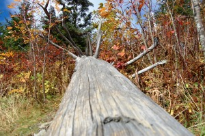 Tree Trunk on Clingman's Dome