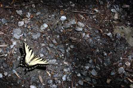 Swallow Tail in Sunlight