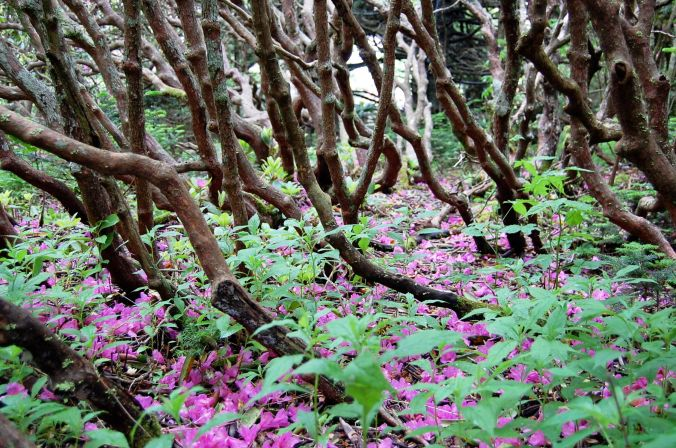 Catawba Rhododendron Trunks and spent blooms