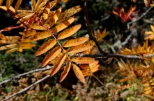 Autumn Hickory Leaf