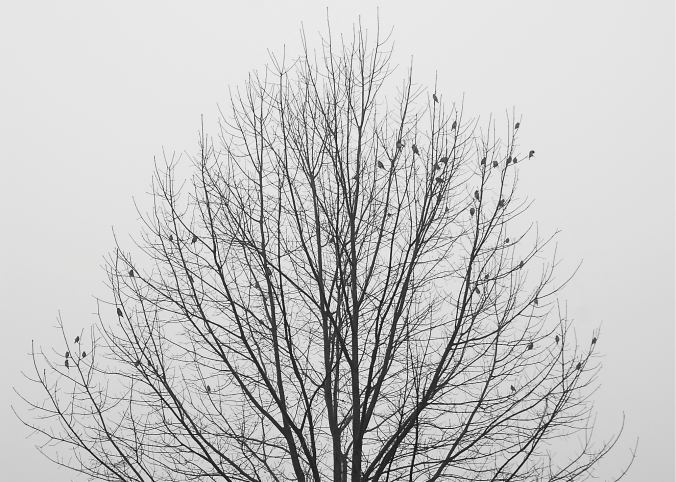 Ceder Waxwings in Oak on Winter Morning