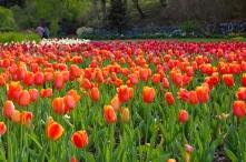 Tulips at Biltmore Estate