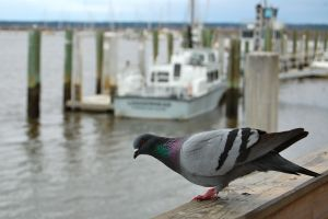 Pigeon on the dock at Saint Marys, Georgia