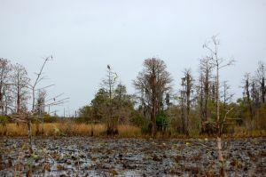 Swamp Hawk in the Okefenokee Swamp, Georgia