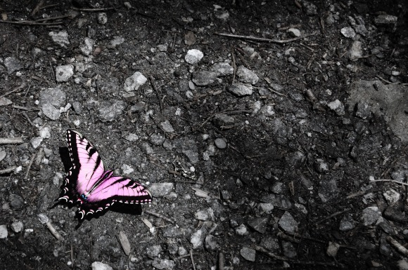 Swallow Tail in Sunlight, Pink photoshop