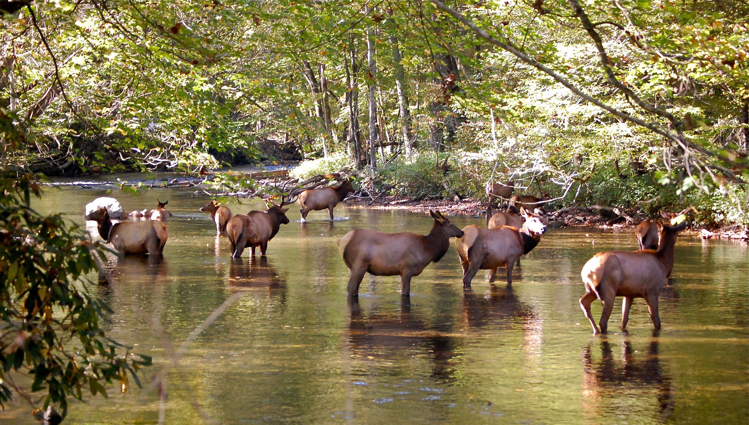 Smokey Mountain Elk Herd Average Us