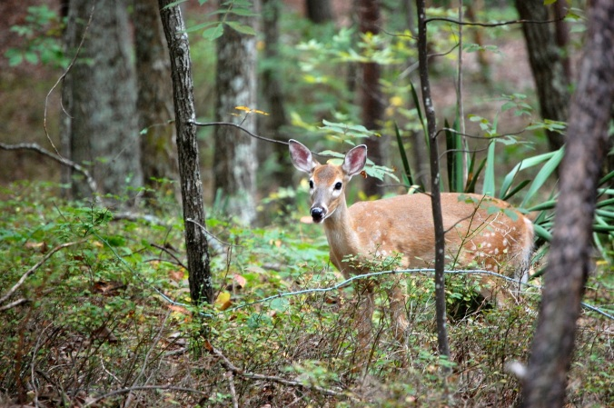 Yearling Fawn on Sawnee Mountain