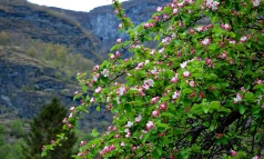 Apple Blossoms at the Flåm Hostel