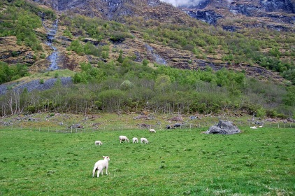 Sheep near the mountain