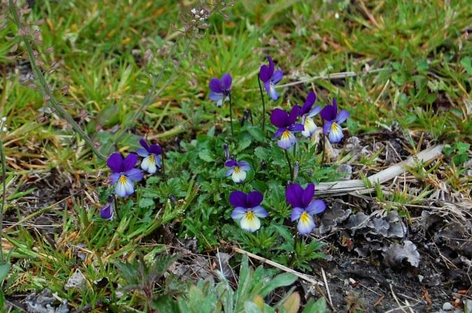 Wild Violas, Lunden, Norway