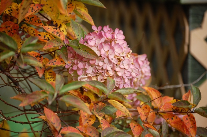 Hydrangea in October, 2014. Boone, NC.
