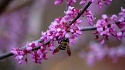 Bee on Redbud