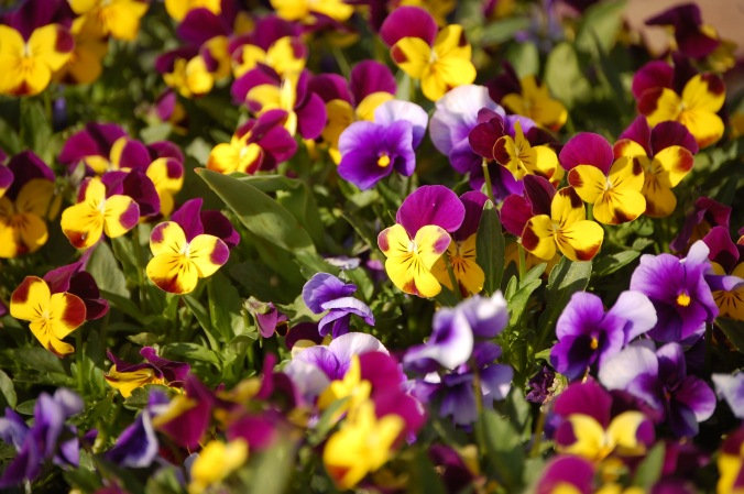 Violas at the mailbox