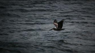 Pelican in flight at dusk