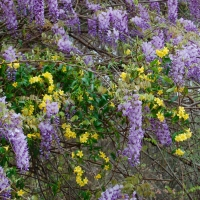 Photo Friday: Wysteria and Carolina Jasmine