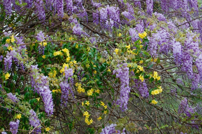 photo of Wild Wysteria and Carolina Jasmine in bloom