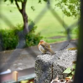 European Robin, Dublin, Ireland