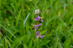 Bee Orchid growing wild in The Burren National Park