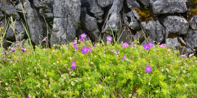 Flower and Stone: Bloody Cranesbill Geranium growing wild in The Burren National Park