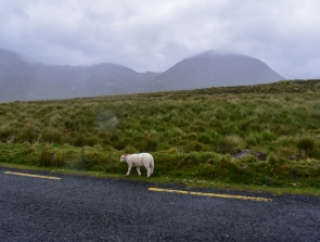 One of hundreds of sheep roaming the road in Connemara National Park