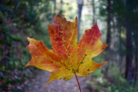 Maple Leaf on the Trail